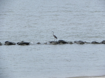 Colonial Beach is home to many migratory birds